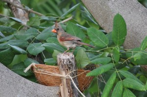 Mama cardinal at basket